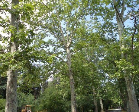 Обработват чинарите срещу вредителя дантелена дървеница