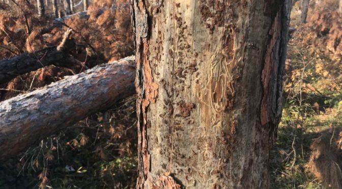 Увредена дървесина на територията на ДГС-Омуртаг
