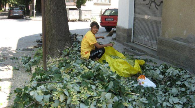 Кметът на община Търговище издаде забрана за бране на липов цвят