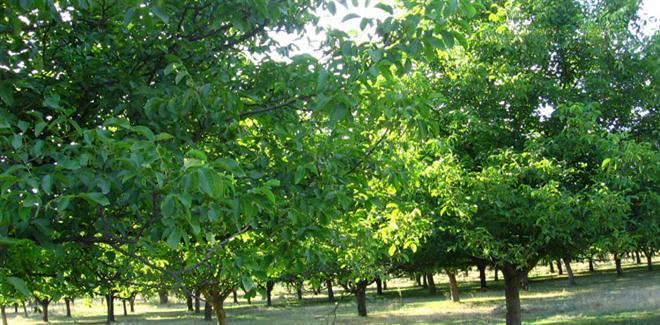 Община Търговище обявява търг за прибиране на реколтата от орехови дървета