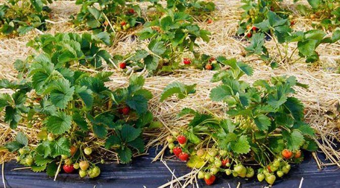 Демонстрация по отглеждане на ягодоплодни насаждения ще се проведе в гр. Опака