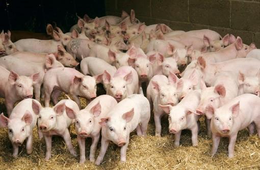 БАБХ предприема допълнителни мерки за превенция от разпространение на болестта Африканска чума по свинете чрез храни