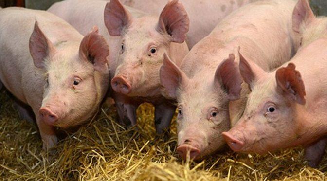 Потвърдиха огнище на африканска чума по свинете и в Търговище